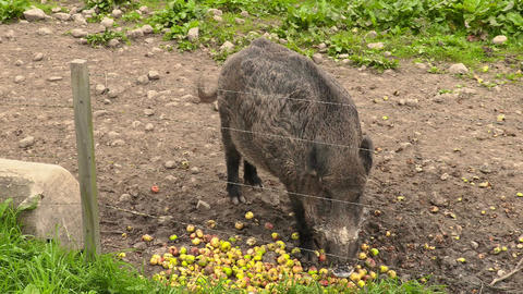 Wild boar eating apples Footage