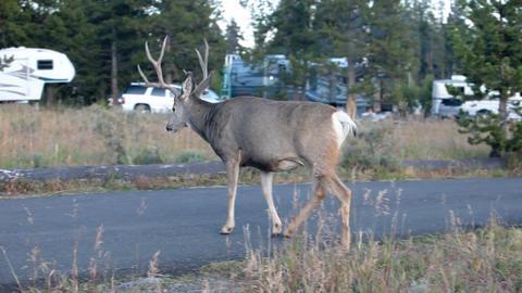 Buck deer in rv campground P HD 2727 Footage