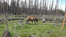 Bull Elk walking burnt forest Yellowstone NP 4K Footage