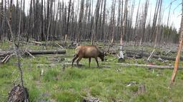 Bull Elk walking burnt forest Yellowstone NP 4K Footage