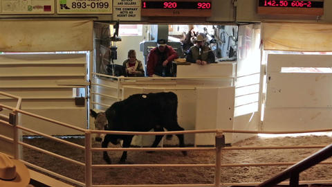 Cattle auction livestock sale show HD 0284 Footage