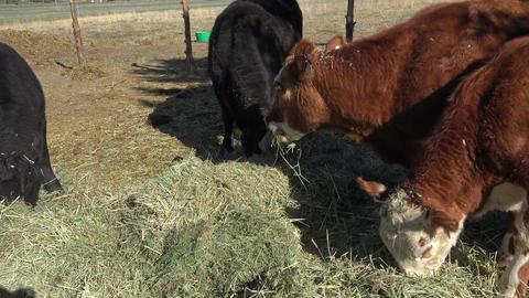 Cattle eating alfalfa hay on small family farm 4K 008 Footage
