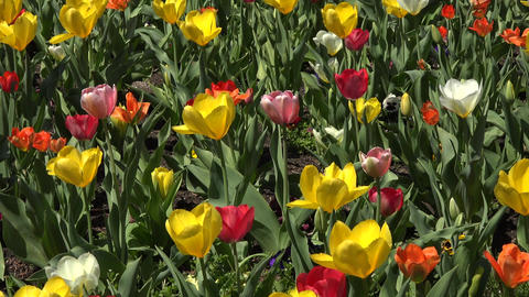 Colorful flower garden tulip and pansy 4K 014 Footage