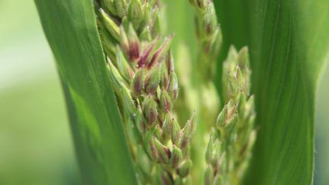Corn pollen tassel close macro P HD 2507 Footage