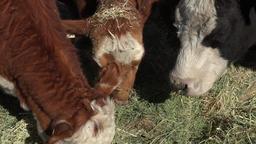 Cows three eating alfalfa hay farm close up 4K 004 Footage