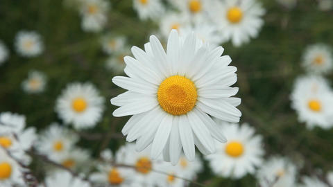 Daisy flower close beautiful P HD 8428 Footage