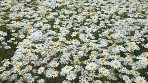 Daisy flowers pan left P HD 8448 Footage
