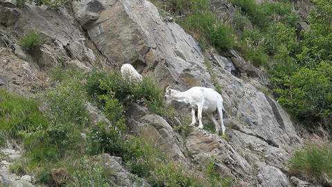 Dall Sheep grazing on mountain Alaska P HD 1548 Footage