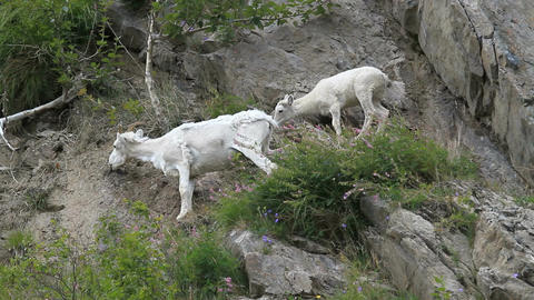 Dall Sheep mother baby on cliff P HD 1556 Footage