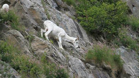 Dall Sheep ewe on ledge P HD 1547 Footage