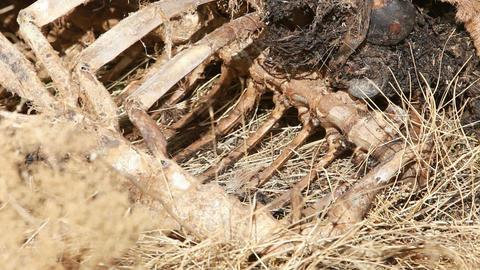 Dead animal bones close P HD 8054 Footage