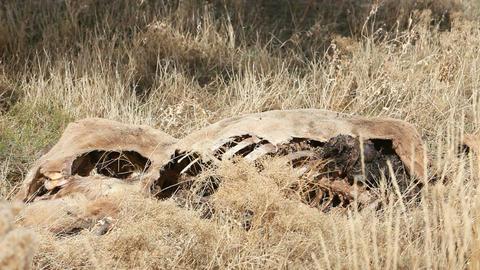 Dead animal in field bones P HD 8050 Footage
