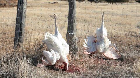 Dead turkeys hang on fence P HD 3858 Footage