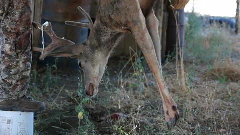 Deer hanging P HD 2139 Footage