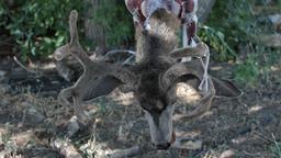 Deer head P HD 2160 Footage