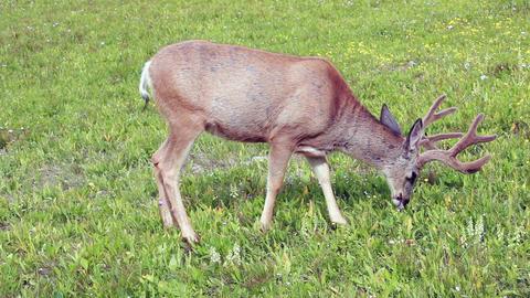 Deer mountain meadow grazing P HD 0536 Footage