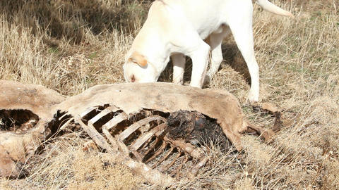 Dog smells dead animal P HD 8055 Footage