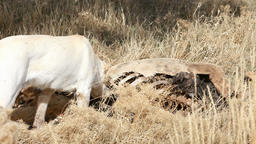 Dog smells dead elk carcass P HD 8050 Live Action