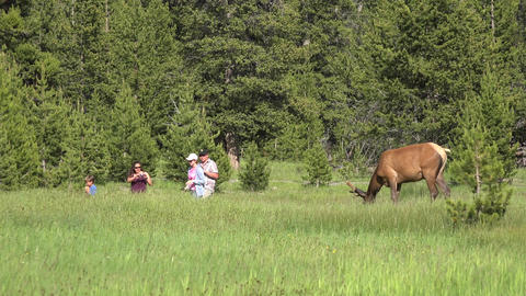 Family hurry past Bull Elk in Yellowstone 4K Footage