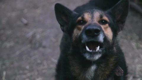 hungry dog, stupid dog, evil dog Live Action