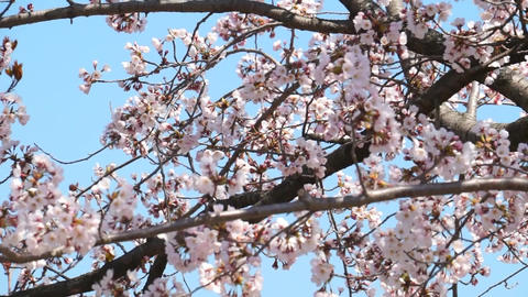Cherry blossoms in Japan, cherry blossom buds, courtyards Live Action