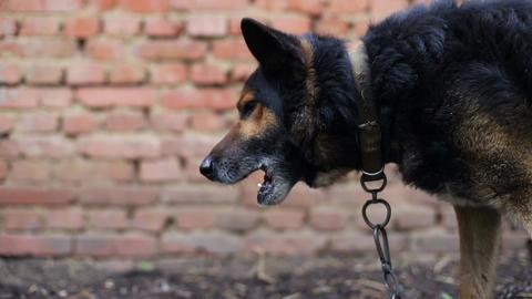 Portrait of an aggressive purebred german shepherd Live Action