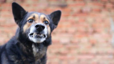 Evil German Shepherd, a dog to guard the house, a place for advertising text Live Action