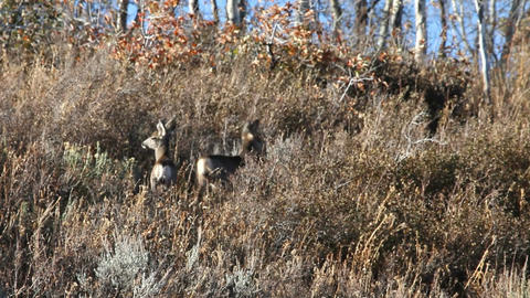 Fawn deer in brush P HD 3582 Live Action