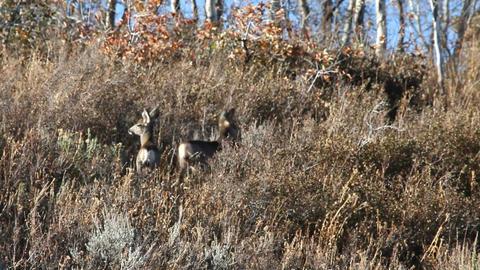 Fawn deer in brush P HD 3582 Footage