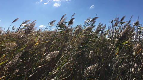 Thickets of reeds swaying on a strong wind in the afternoon Footage