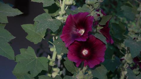 Flower Hollyhock purple 4K 121 Footage