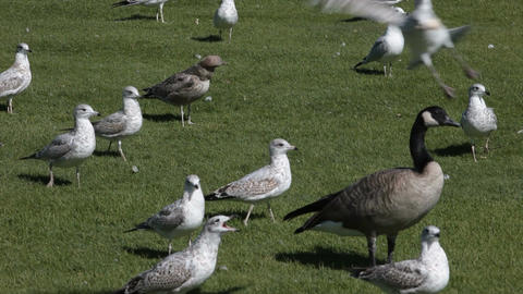 Goose and sea gulls P HD 2294 Footage