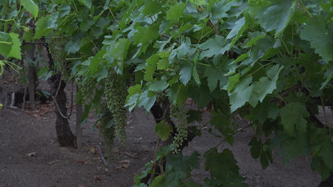 Grape vineyard green with fruit growing 4K 119 Footage