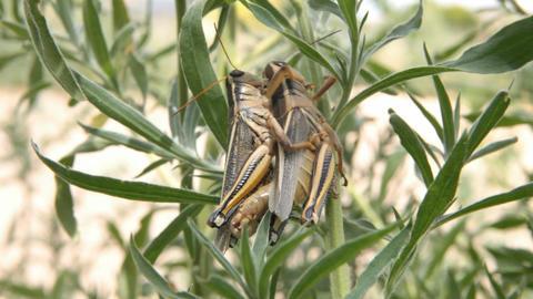 Grasshopper mating close P HD 1629 Footage