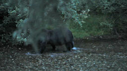 Grizzly bear hunting in river p HD 0325 Footage