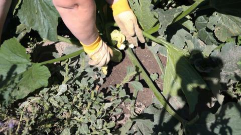 Harvesting zucchini squash P HD 2008 Footage