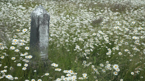 Headstone in old cemetery daisy P HD 8437 Footage