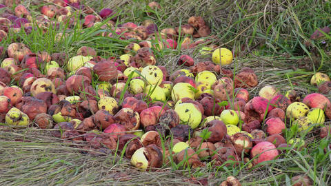 Rotten apples with insects Footage