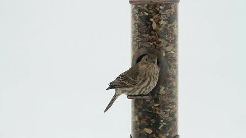 House Sparrow on bird feeder close HD 8106 Footage