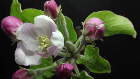 blooming blossom apple tree flower in the garden, spring time lapse, isolated on Live Action