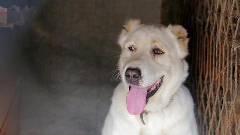 A white dog in shelter, Sad dog, White dog, caged dog Live Action