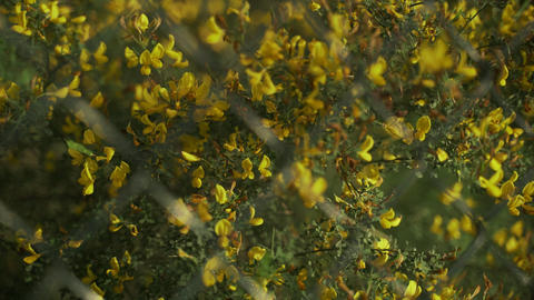 Spring flowers. Close-up of blooming yellow flowers. Beautiful flowers on a Live Action