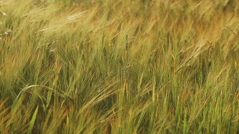 Spring field. Close-up of wheat ears. Beautiful rye field in golden light. Field Live Action