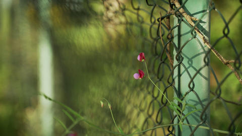 Spring flowers. Close-up of blooming purple flowers on the metal fence Live Action
