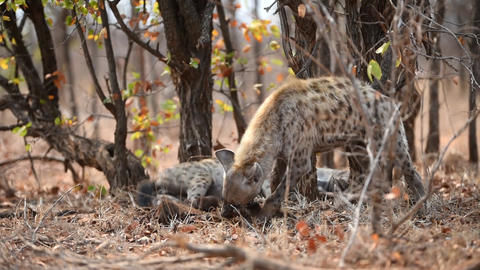 Hyenas feeding on carcass Live Action