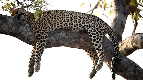 Leopard sleeping on tree Live Action