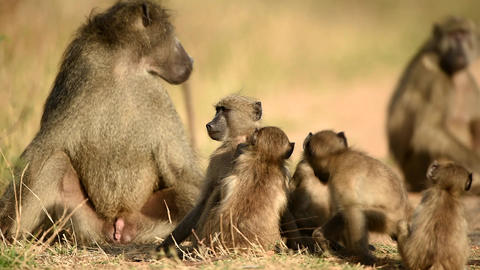 Baboon family with baboon babies in the wilderness Live Action