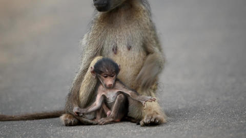 Baboon family with baboon baby in the wilderness Live Action