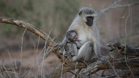 Baby vervet monkey sucking mom in the wilderness Live Action