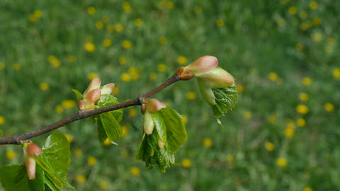 buds on twig tree Live Action